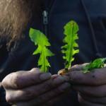 Rien de tel que l'observation rapprochée et la comparaison pour apprendre à différencier (et donc identifier clairement) les plantes sauvages comestibles.
