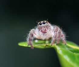 jumping-spider-1130449